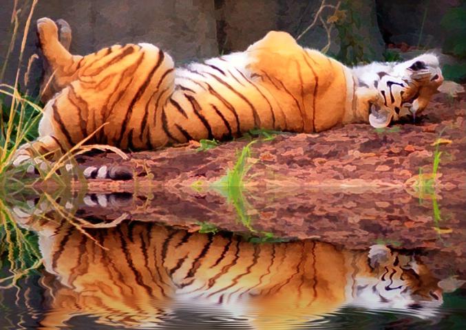 "A ""Cool"" Tiger"