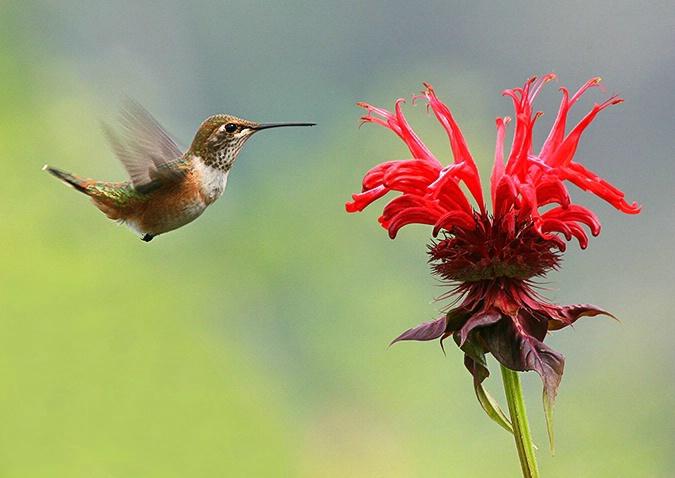 Rufous Hummingbird approaching Bee Balm #3 - ID: 2543069 © Janine Russell