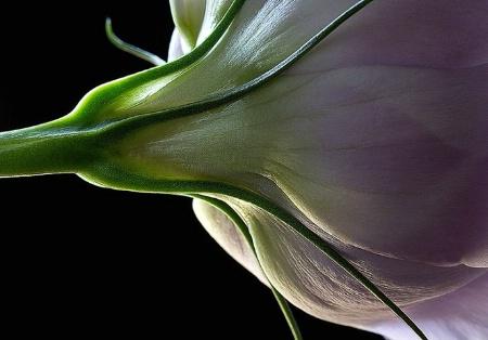 lisianthus, purple, white, flower, macro