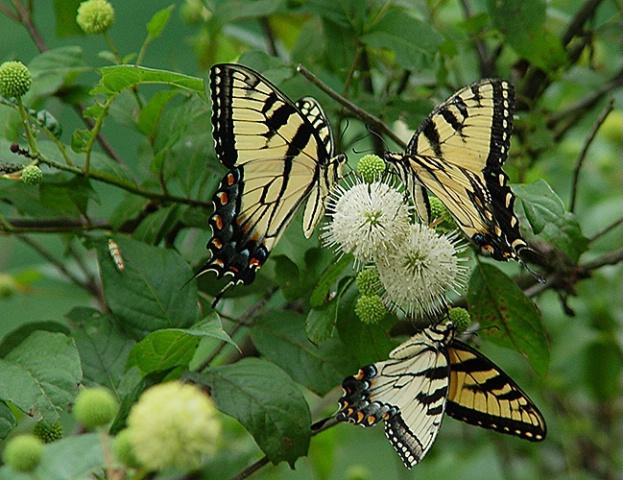 Swallowtails 2 - ID: 2623578 © Virginia Ross