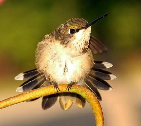 Male Ruby-Throat hummingbird