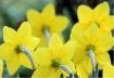 Golden Daffodils.