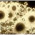 © Thomas  A. Statas PhotoID # 2663998: Old Sunflowers