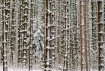 Winter Pine Fores...
