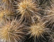 Cactus 654