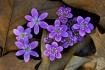 Purple Hepatica