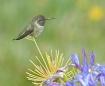 Hummingbird Takin...
