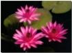 Three Lilies