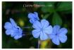 ~ Blue Leaf Clove...