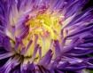 burst of asters