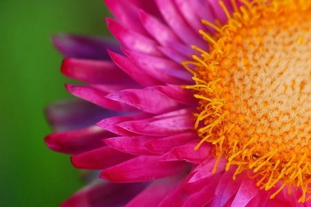 paper daisy in pink