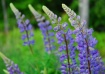 Lupines- Gray, ME