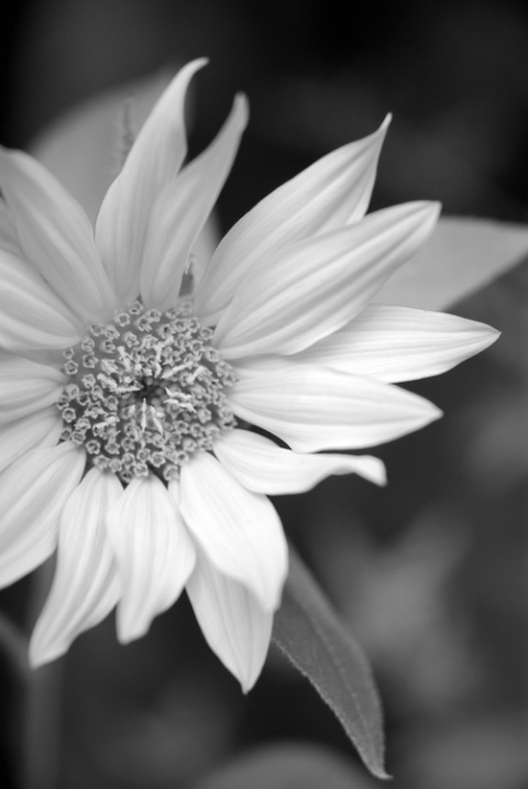Sunflower B&W