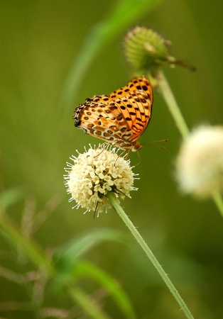 Butterfly at the padi field