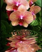 Orchid Reflection