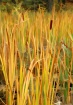 Cat Tails in Pond