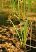 Pond & Reeds