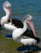 Pelican Preening ...