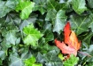 Red Maple in Ivy
