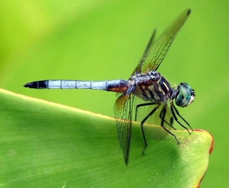 The Blue Dasher