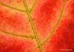 Maple leaf Veins