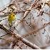 © Robert Hambley PhotoID # 2962493: Townsend's Warbler