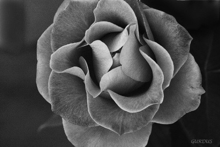 Ode to a Rose