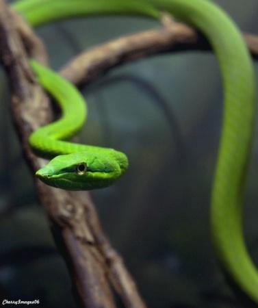Green Rope Snake