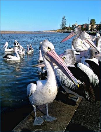 * Pelicans # 9 *