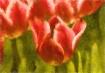 Impression, Tulip...