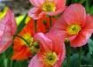 Wild Pink Poppies