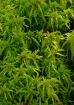 Sphagnum Moss