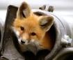 Peek-A-Boo Fox
