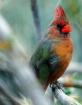 Tucson Cardinal