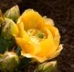 Cactus Flower wit...