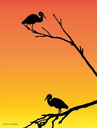 Herons in Silhoutte