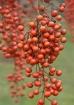 Berries from Iigi...