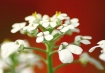 Tiny White Flower...