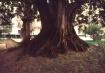 A tree in Valenci...