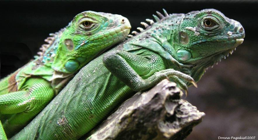 Baby Iguanas