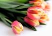 watercolor tulip ...