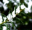 droplets on yew
