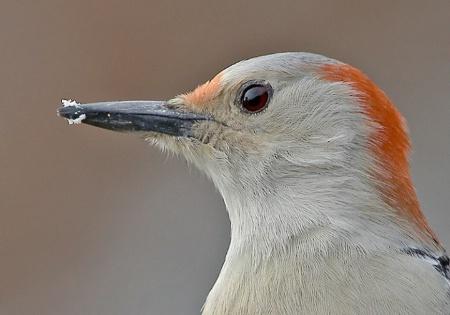 Red-Bellied Woodpecker closeup