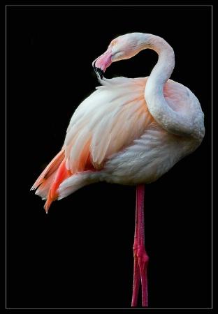 Flamingo on black