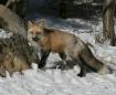 Fox at Lakota