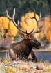 The Talking Elk