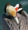 Bashful Pelican
