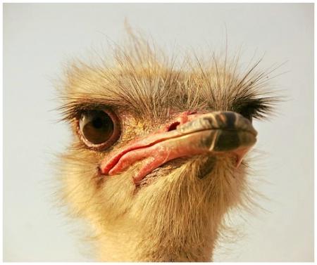 Sad Ostrich !