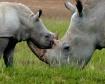 White Rhino with ...