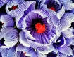 Crocus Blooms